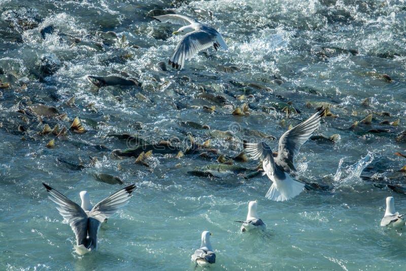 Łososia rybi dopłynięcie w górę rzecznych pobliskich seagulls zdjęcie stock