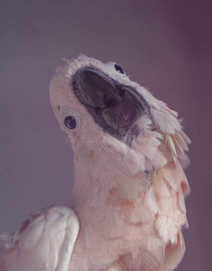 Łososiowa czubata kakadu papuga fotografia stock