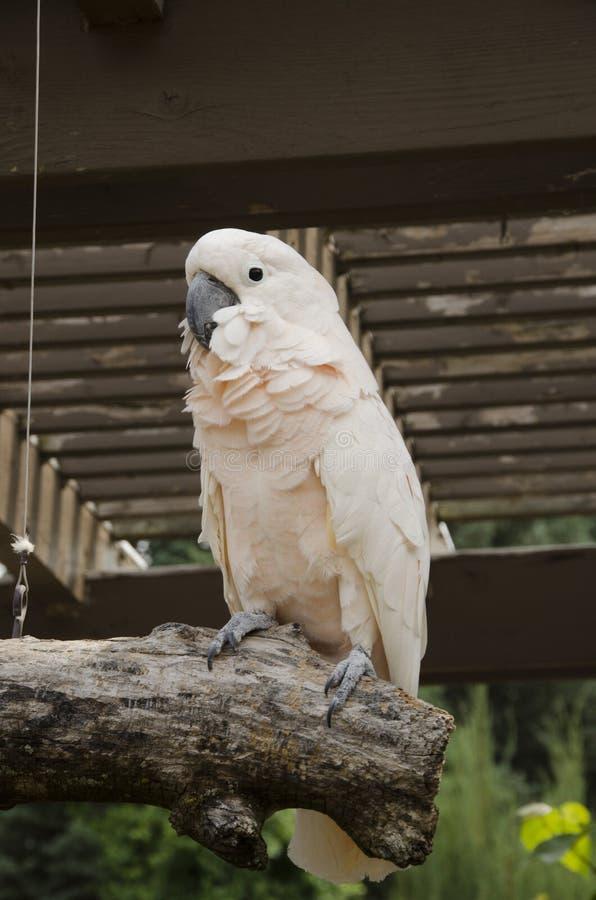 Łososiowy Czubaty kakadu obrazy stock