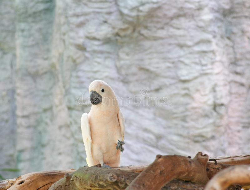Łososiowy czubaty kakadu, Cacatua moluccensis fotografia royalty free