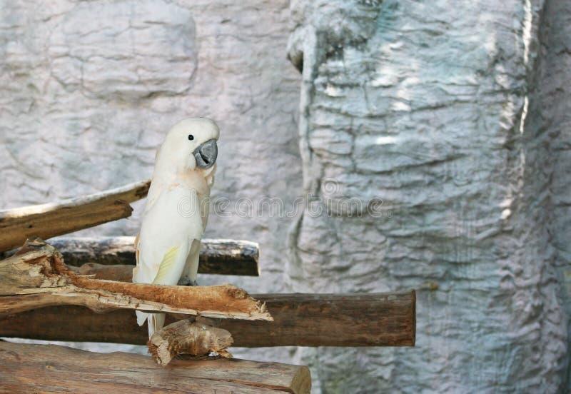 Łososiowy czubaty kakadu, Cacatua moluccensis zdjęcie royalty free