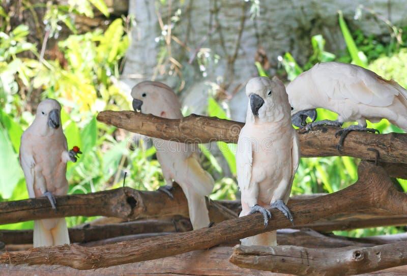 Łososiowy czubaty kakadu, Cacatua moluccensis, grupa zdjęcie stock