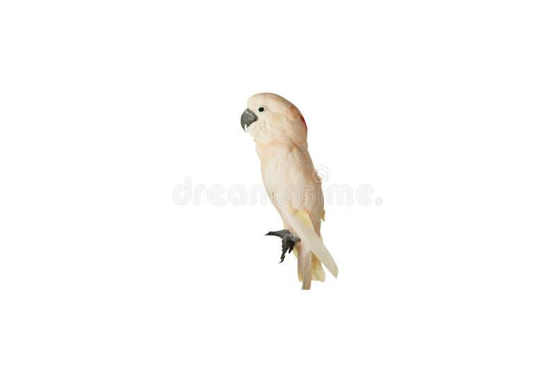 Łososiowy czubaty kakadu, Cacatua moluccensis odizolowywający na białym tle obraz stock