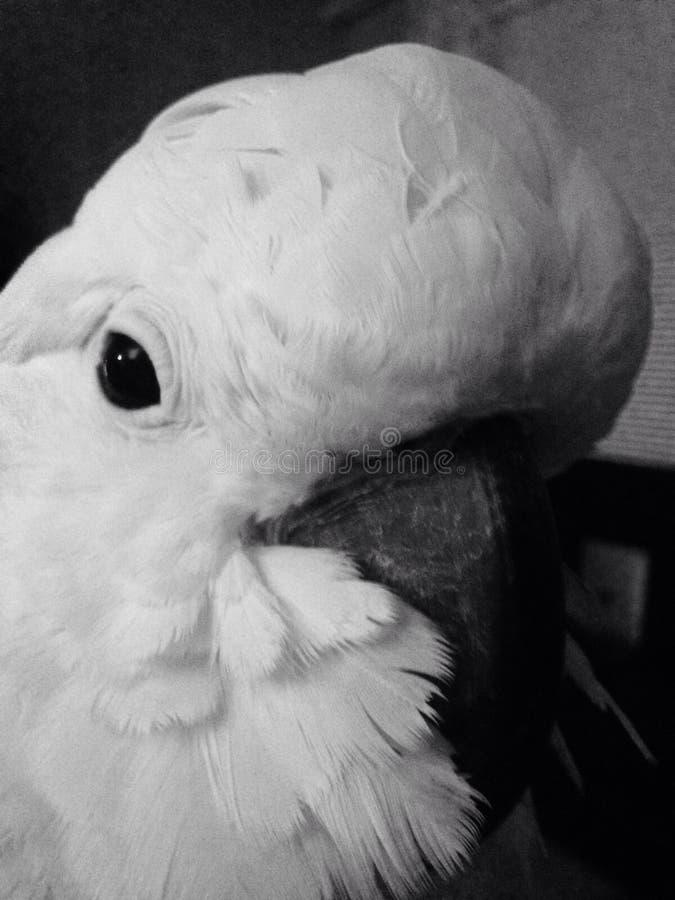 Łososiowy czubaty męski kakadu papugi ptak zdjęcie stock