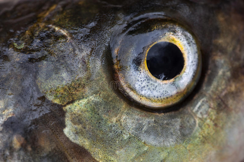 Łowi oka zakończenie obrazy stock