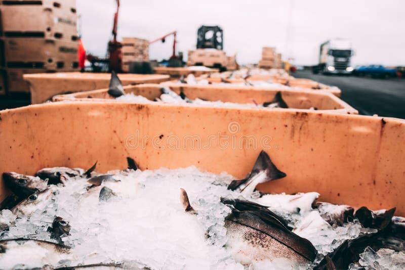 Łowi w pudełkach lód w schronienia molu w Iceland obraz royalty free
