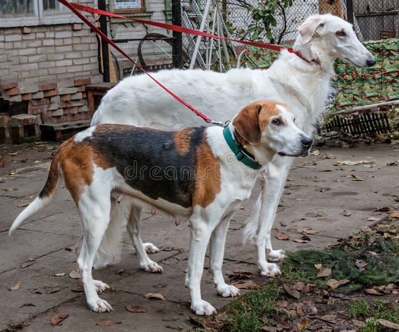 Łowieccy psy na smycza svorka - Rosyjski Borzoi i rosjanina piebald tropimy obrazy royalty free
