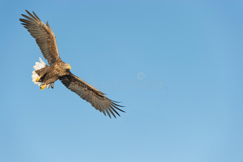 Łowiecki Denny Eagle obrazy stock