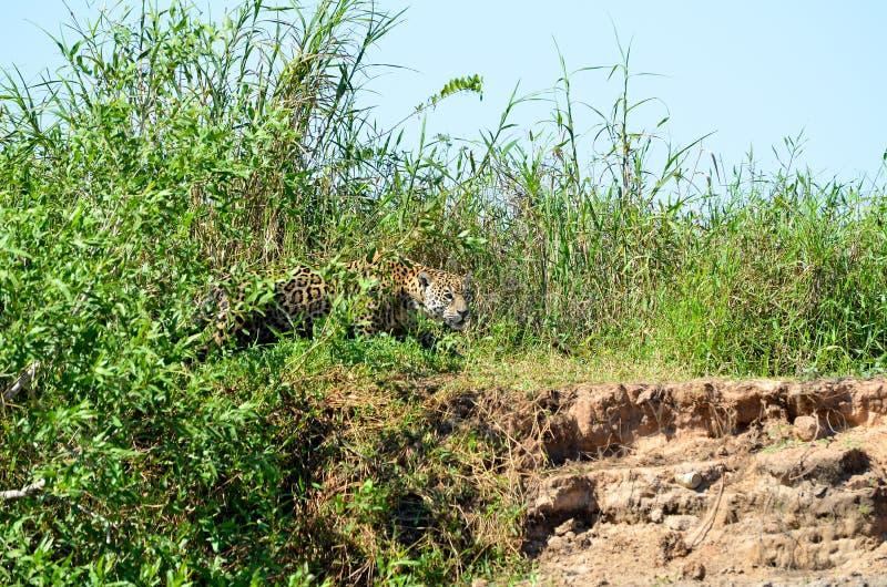 Łowiecki jaguar zdjęcie stock