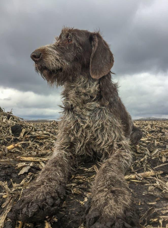 Łowiecki pies Drathaar na wiosny polowania spoglądaniu w niebo w poszukiwaniu gąski zdjęcie stock