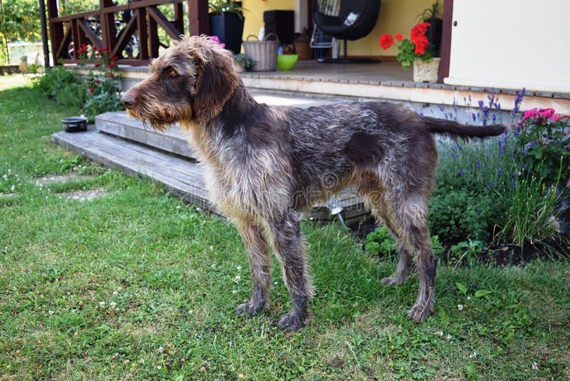 Łowiecki pies na słonecznym dniu, Niemiecki wirehaired pointer obrazy royalty free