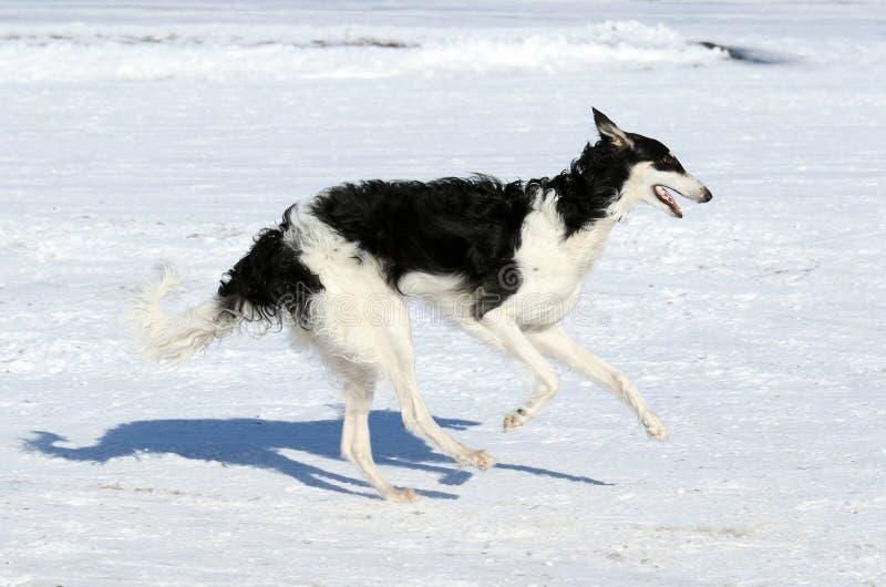 Łowiecki pies w ruchu obraz royalty free