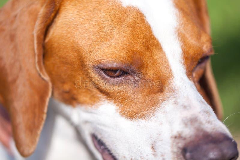 Łowieckiego psa pointeru angielski portret z bliska Zwierzęcy świat obraz stock