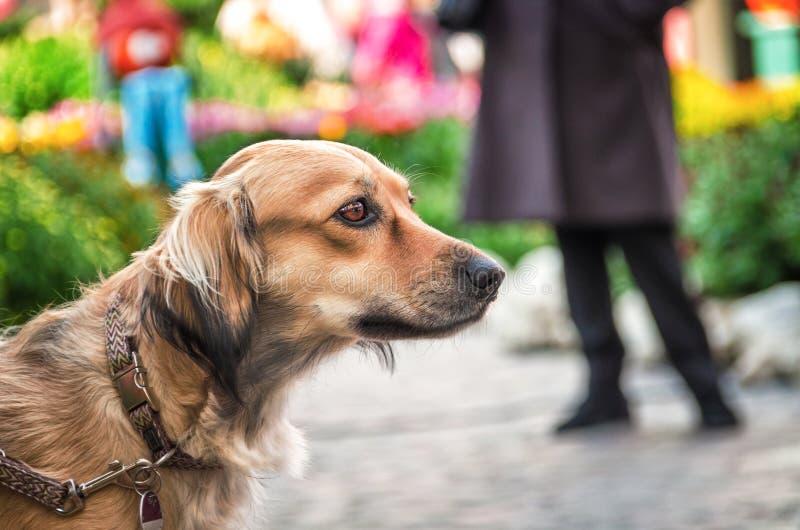 Łowieckiego psa traken z expectant spojrzeniem zdjęcie stock