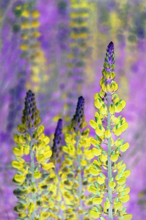 Łubinowi kwiaty zdjęcie stock
