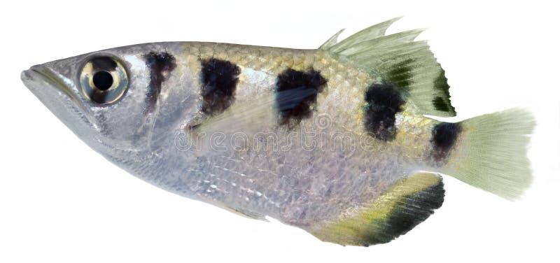 łuczniczki ryba obraz royalty free
