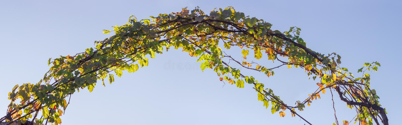 Łuk, splatający trzony winogrona z jesień liśćmi obrazy royalty free