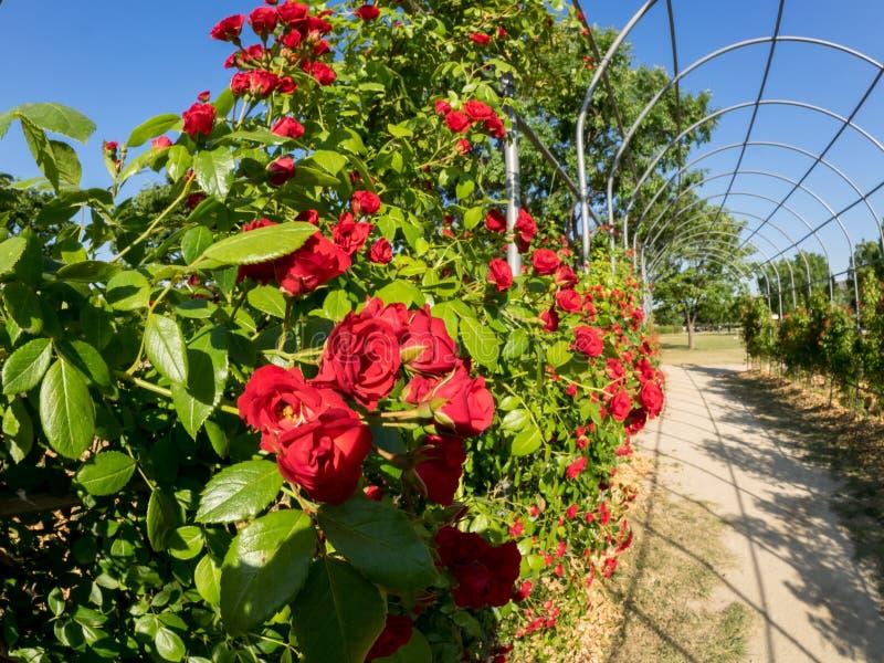Łuk zakrywający z czerwonymi różami w ogródzie Park z pięknym wzrastał kwiaty obraz royalty free