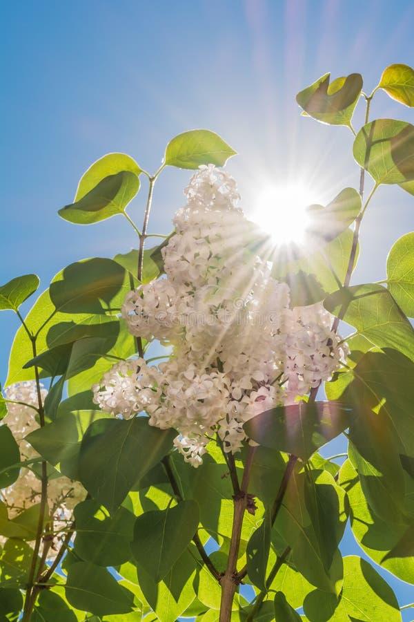 Łuna biały bez kwitnie na gałąź z zielonymi liśćmi przeciw niebieskiemu niebu z słońcem fotografia stock
