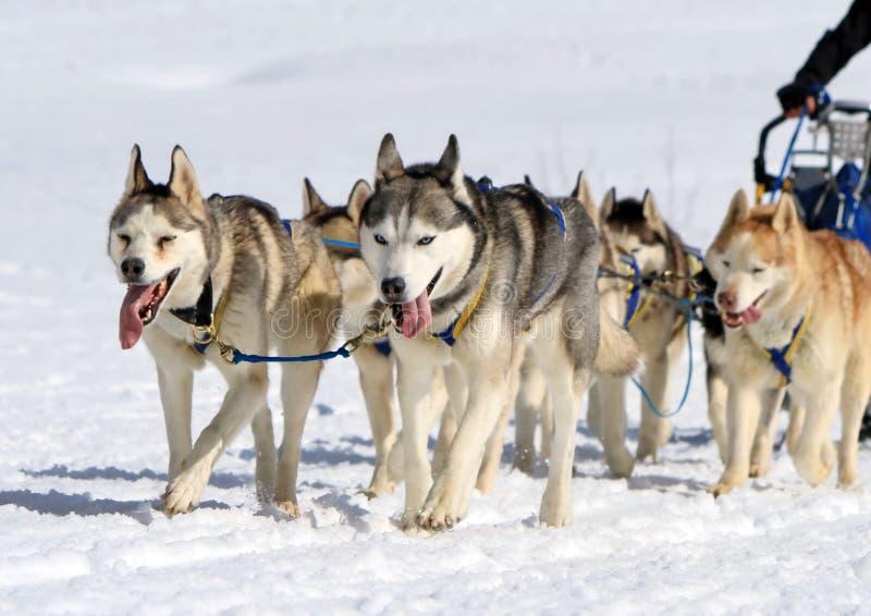 Łuskowata sanie psa drużyna przy pracą zdjęcie stock