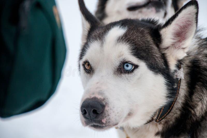 Łuskowaty sanie pies w Inari obraz stock