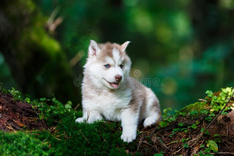 Łuskowaty szczeniak w dzikim lesie obrazy royalty free