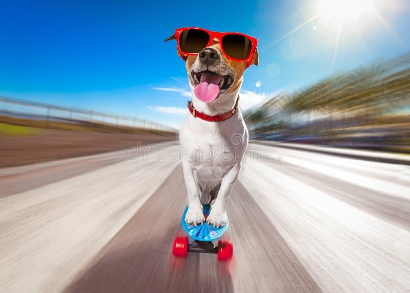 Łyżwiarka pies na deskorolka obraz stock