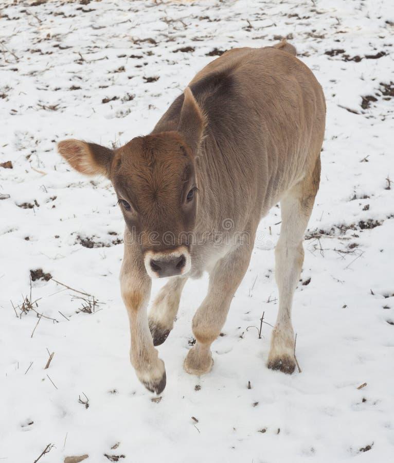 Łydka bawić się w śniegu zdjęcie stock