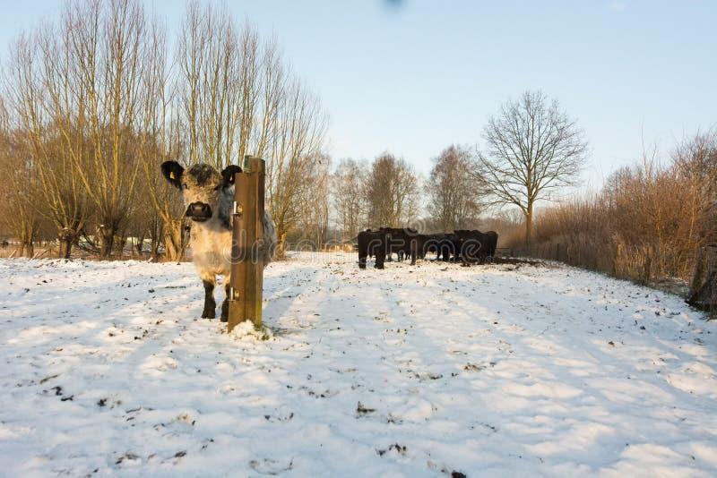 Łydka przy śnieżną łąką obrazy royalty free