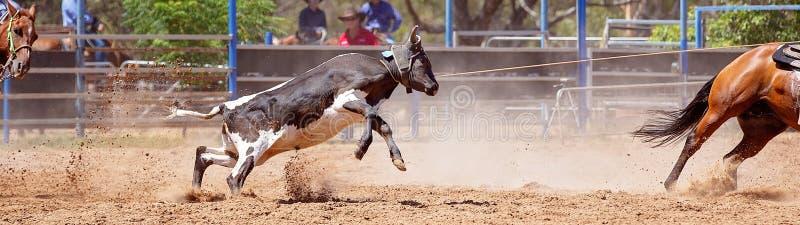 Łydka Roping Przy Australijskim kraju rodeo zdjęcie royalty free