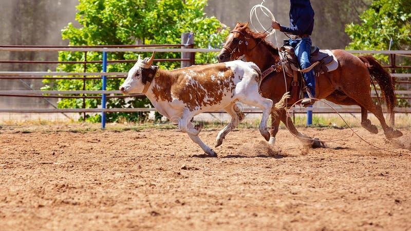 Łydka Roping Przy Australijskim kraju rodeo fotografia stock