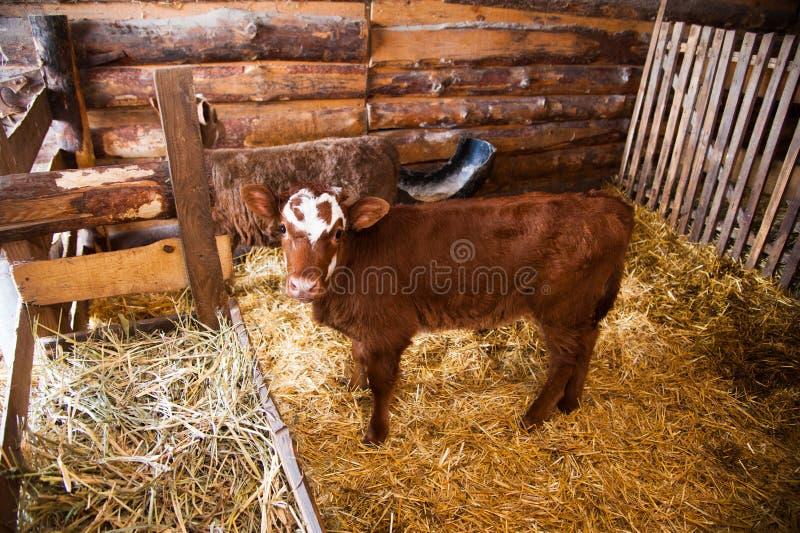 Łydka w cowshed zdjęcia royalty free
