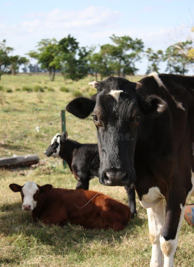 łydki krowa zdjęcie stock