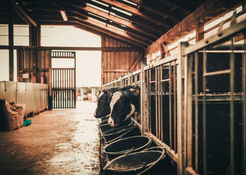 Łydki w cowshed na nabiału gospodarstwie rolnym zdjęcie royalty free
