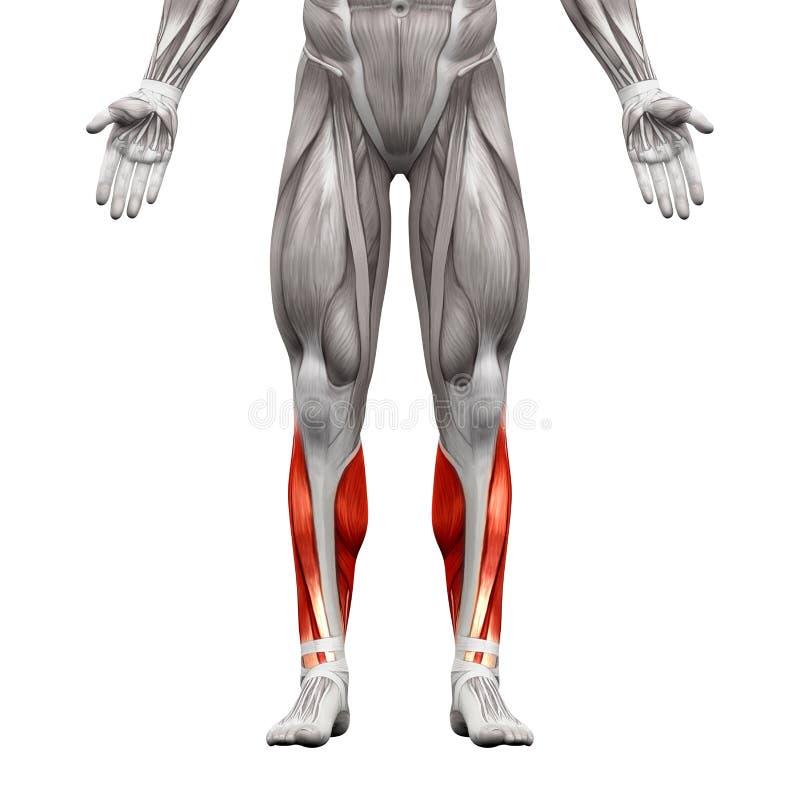 Łydkowi mięśnie 3D illustrati - anatomia mięśnie odizolowywający na bielu - royalty ilustracja