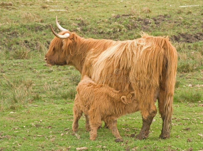 łydkowy krowy stopy średniogórze
