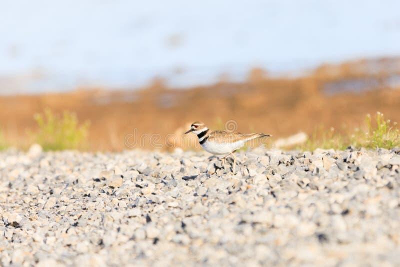 Łysa gałeczka NWR - Marzec 2017, Killdeer patrzeje dla gniazdować punktu wzdłuż strony droga wśród Łysej gałeczki Krajowej przyro zdjęcia royalty free