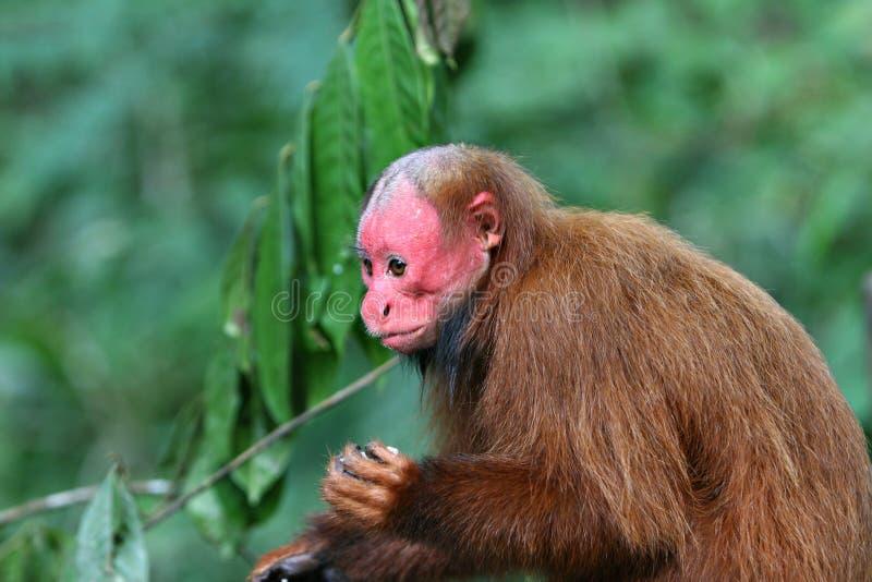 Łysa Uakari małpa zdjęcia royalty free