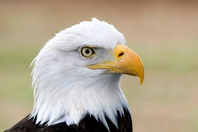 łysego amerykańskiego orła portret zdjęcia royalty free