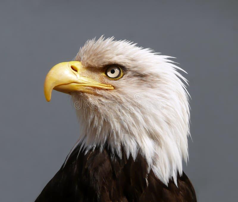 łysego amerykańskiego orła portret obraz royalty free