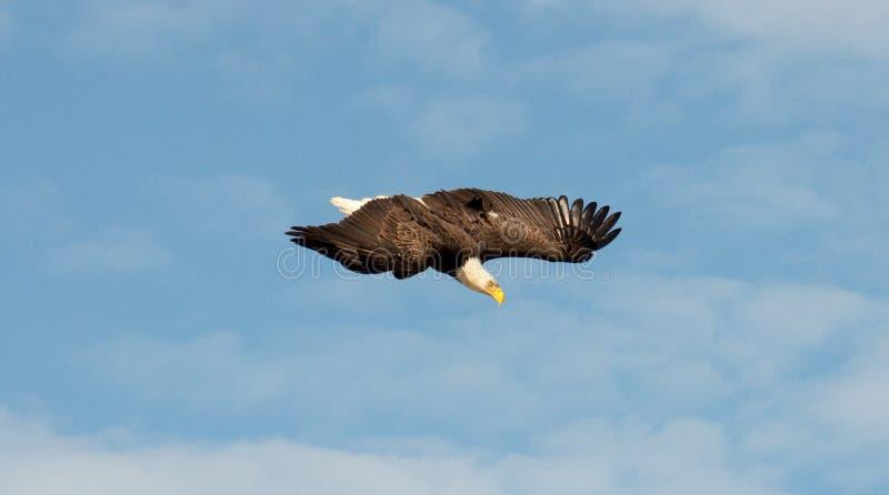 Łysego Eagle dopatrywanie od above zdjęcie royalty free