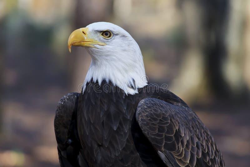 Łysego Eagle głowy strzał obrazy stock