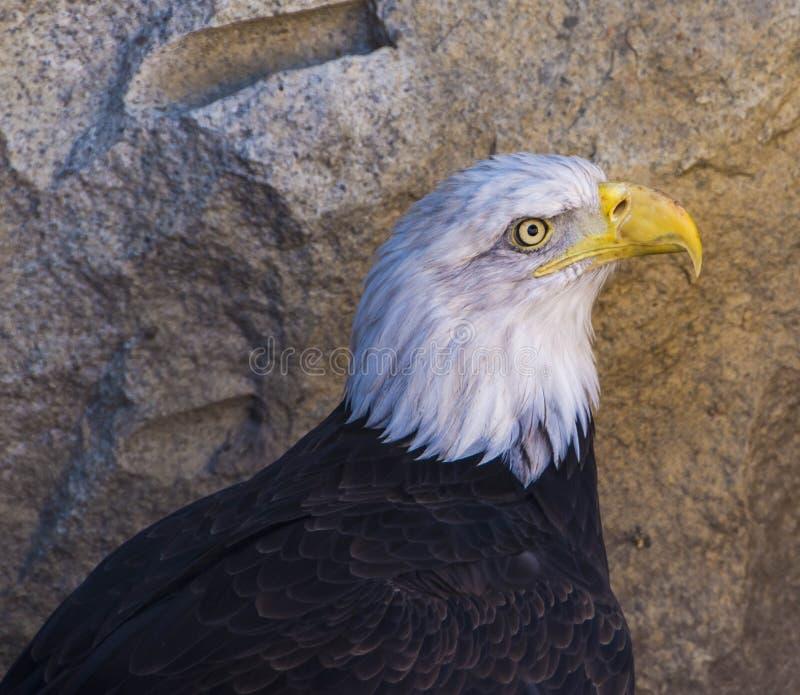 Łysego Eagle królewiątko niebo fotografia stock