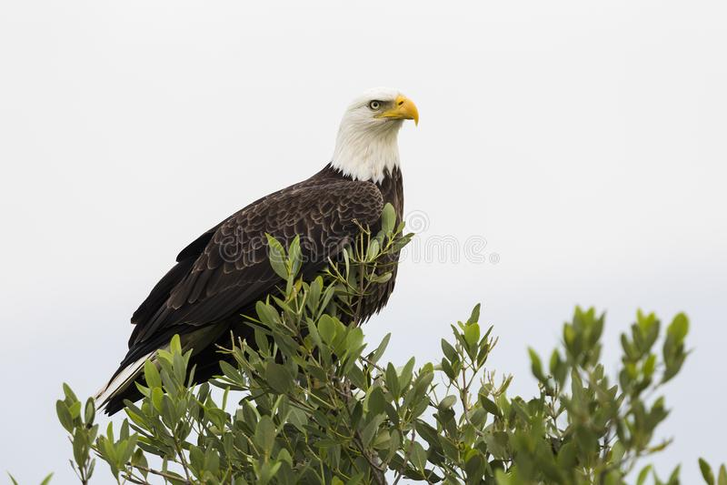 Łysego Eagle, Merritt wyspy rezerwat dzikiej przyrody -, Floryda fotografia stock