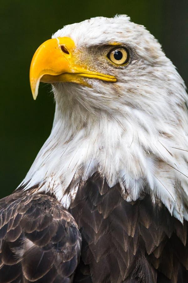 Łysego Eagle popiersie fotografia royalty free