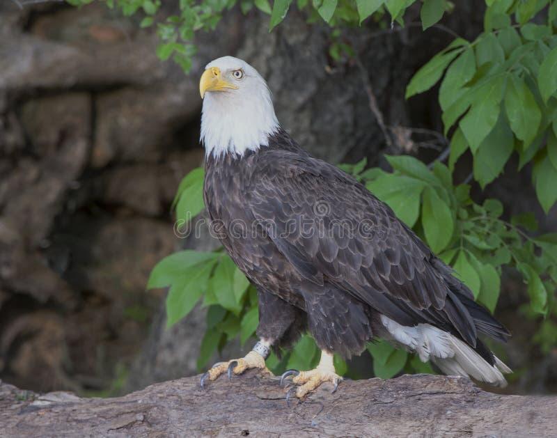 Łysego Eagle zbliżenia obsiadanie na powalonym drzewie zdjęcia royalty free