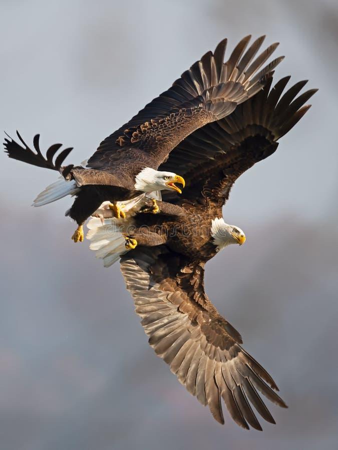 Łysego Eagles bitwa w locie dla ryba fotografia stock