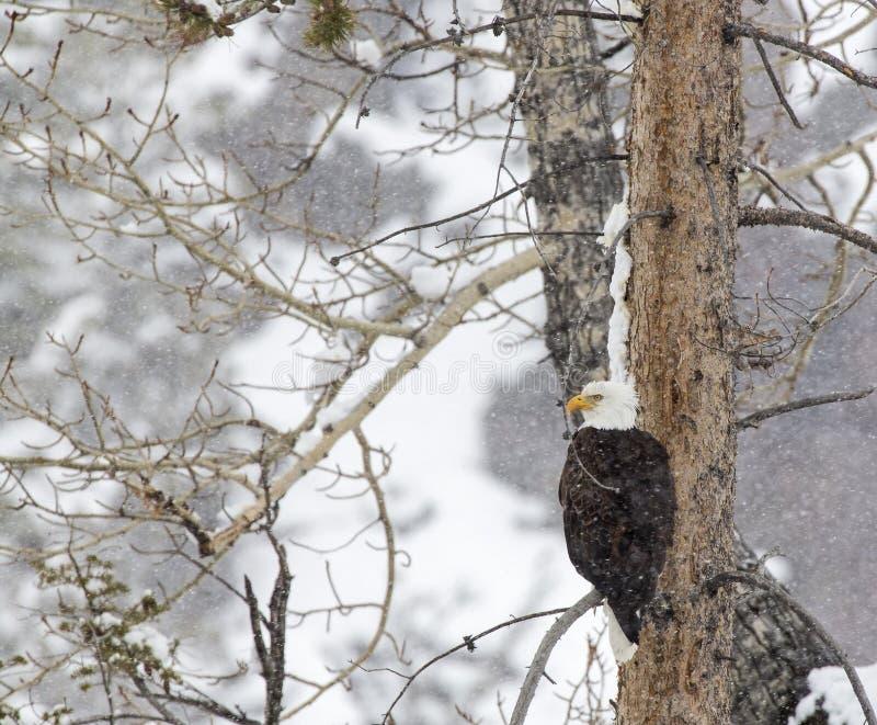 Łysego orła śnieżna burza zdjęcia stock