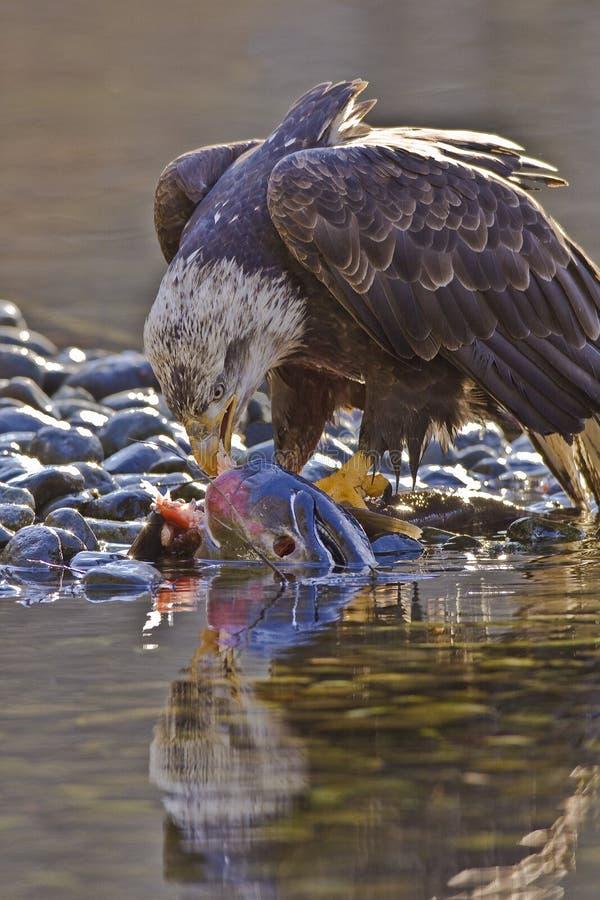 łysego orła żywieniowy łosoś obraz royalty free