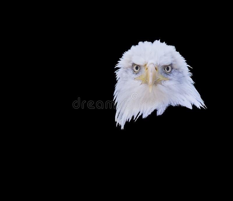 Łysego orła głowy przodu portret obraz royalty free